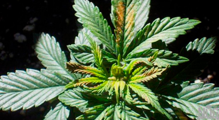 Cannabis Nutrient Deficiencies - What They Are and How to