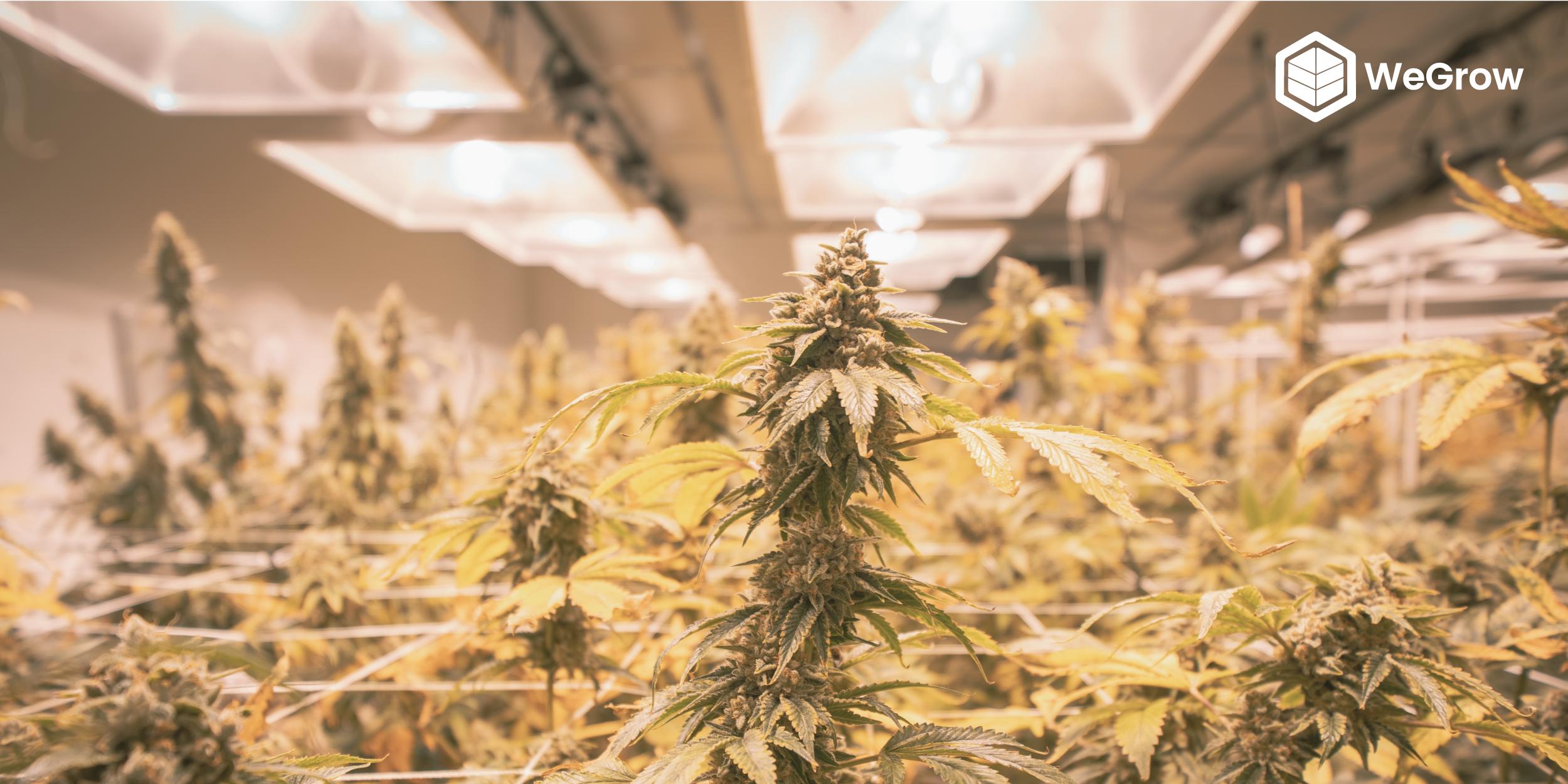 The Best Cannabis Grow Lights For Any Budget Wegrow