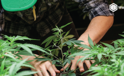 A Quick Guide to Avoid Common Mistakes When Growing Cannabis
